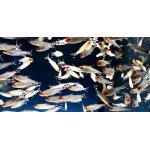 Beifische