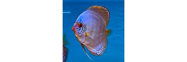 Alle 15-17cm Stendker Diskusfische
