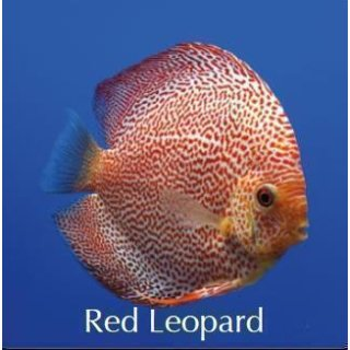 Red Leopard 10cm