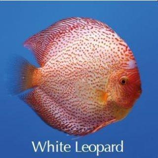 White Leopard Paar 14cm