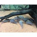Corydoras Pulcher XXL Wildfang Hochflossenpanzerwels