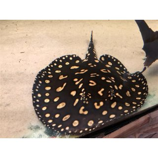 Potamotrygon Leopoldi Black Diamond Männchen 2