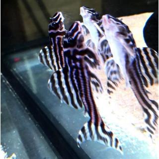 L046 Hypansistrus Zebra  Small 3,5-4,5 cm