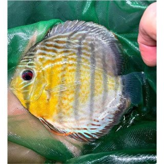 Tefe Green Red Spotted Diskus 3