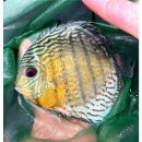 Tefe Green Red Spotted Diskus 5