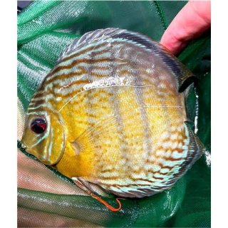 Tefe Green Red Spotted Diskus 6