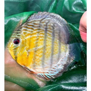 Tefe Green Red Spotted Diskus 7