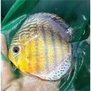 Tefe Green Red Spotted Diskus 8