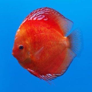 Diskus Marlboro Red 6,5cm