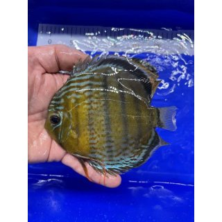 Tefe Green Red Spotted Diskus 14