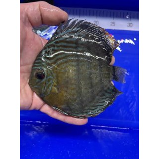 Tefe Green Red Spotted Diskus 15