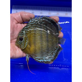 Tefe Green Red Spotted Diskus 16