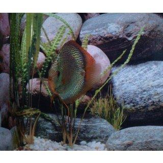 Snake Skin Blau Paar 15-17cm