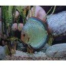 Diskus Kobalt Paar 15-17cm