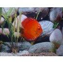 Diskus Marlboro Red Paar 15-17cm