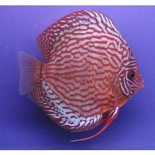 Diskus Rot Türkis 5cm