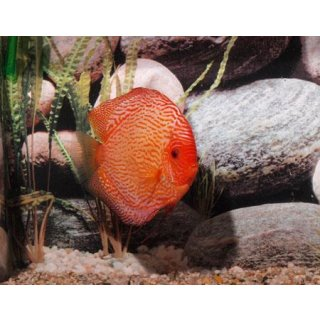 Diskus Pigeon Blood Snake Paar Jumbo