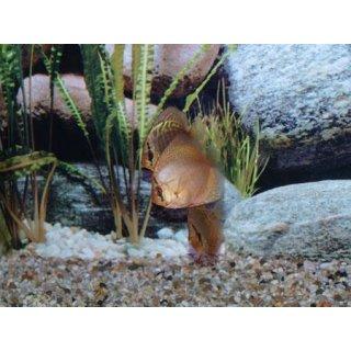 Diskus Snake Skin Blau 6,5cm
