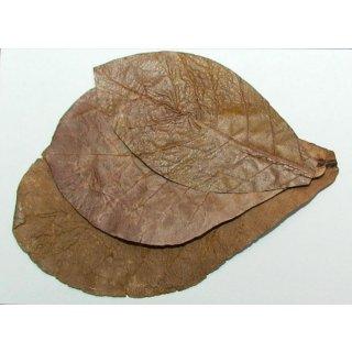 Seemandelbaumblätter XXL 18-25cm