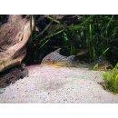 Corydoras Sterbai XXL Wildfang